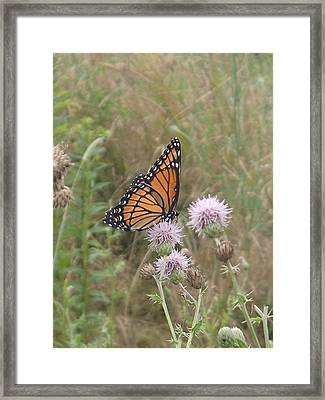 Viceroy On Thistle Framed Print by Robert Nickologianis