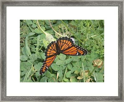 Viceroy Framed Print by Robert Nickologianis