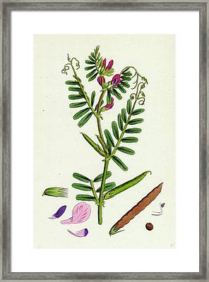 Vicia Eu-sativa Common Cultivated Vetch Framed Print by English School