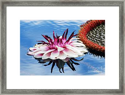 Victoria Amazonica Flower Framed Print