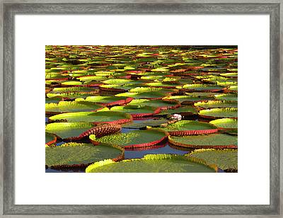 Victoria Amazonica Lily Pads Framed Print by Keren Su