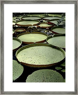 Victoria Amazonica Lily Pads Framed Print