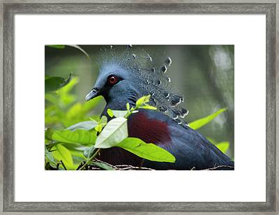Victoria Crowed-pigeon (goura Victoria Framed Print by Cindy Miller Hopkins