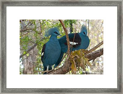Victoria Crowned Pigeons Framed Print
