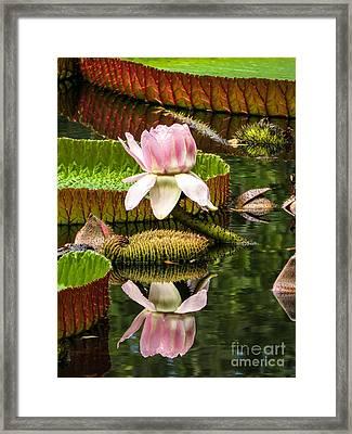 Victoria Cruziana Waterlily Framed Print by Zina Stromberg