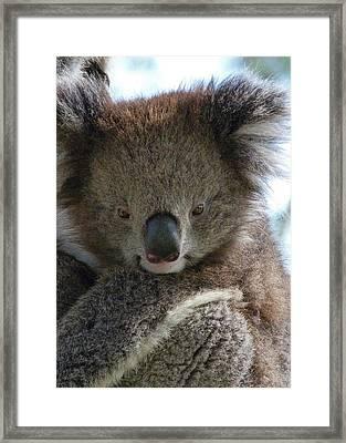 Victorian Koala Framed Print by Margaret Saheed