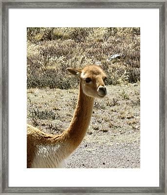 Vicuna Portrait Framed Print by Darlene Grubbs