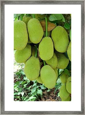 Vietnam, Cu Chi Ripe Jack Fruit On Tree Framed Print by Cindy Miller Hopkins