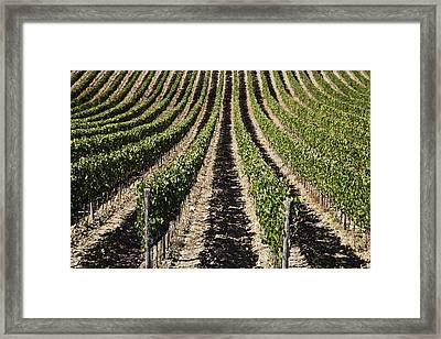 View Down The Row Of Vines Framed Print by Alexander Macfarlane