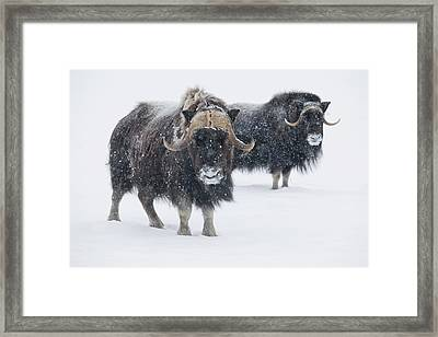 View Of A Pair Of Muskoxen Bulls Framed Print by Doug Lindstrand