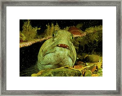 View Of A Wolf Fish Framed Print by Rudiger Lehnen/science Photo Library