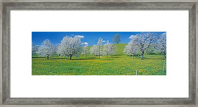 View Of Blossoms On Cherry Trees, Zug Framed Print