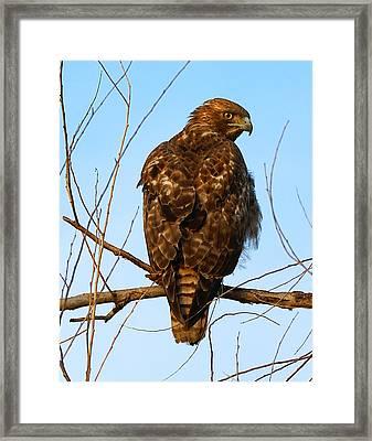 Vigilant Red-tailed Hawk  Framed Print