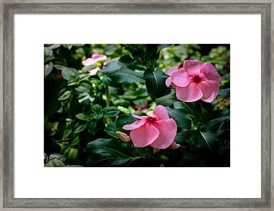 Vinca Rosea Singapore Flower Framed Print by Donald Chen