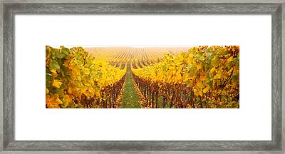 Vine Crop In A Vineyard, Riquewihr Framed Print by Panoramic Images