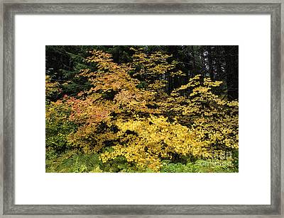 Vine Maple Glory Framed Print