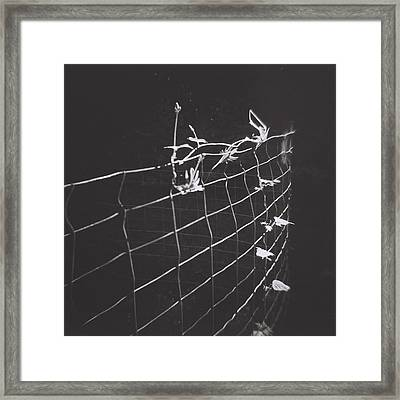 Vine On A Fence Framed Print