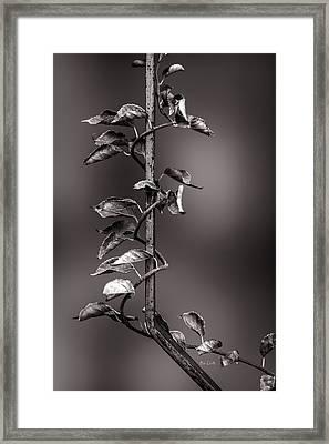 Vine On Iron Framed Print by Bob Orsillo