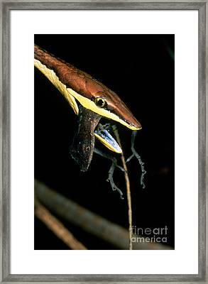 Vine Snake Eating Anole Framed Print