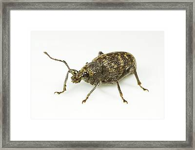 Vine Weevil Framed Print by Sinclair Stammers