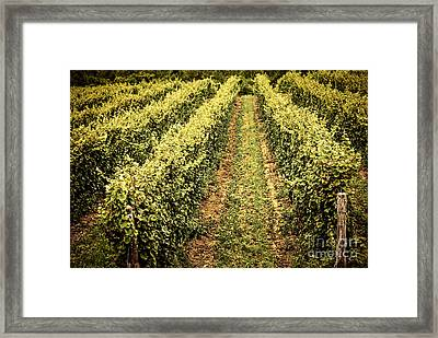 Vines Growing In Vineyard Framed Print by Elena Elisseeva