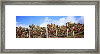 Vines In A Vineyard, Napa Valley, Wine Framed Print by Panoramic Images