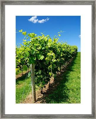 Wine Making Vines Framed Print by Norman Pogson