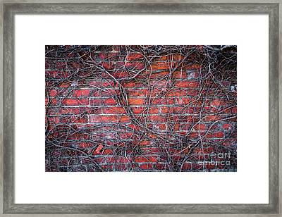Vines On A Brick Wall Framed Print by Amy Cicconi