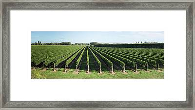 Vineyard Along Korokipo Road, Hastings Framed Print