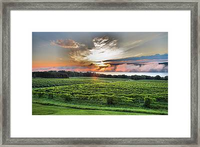 Vineyard At Sunrise Framed Print