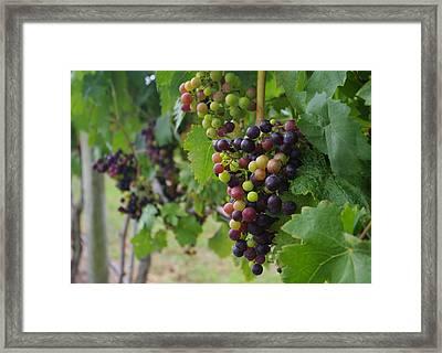 Vineyard Colors Framed Print