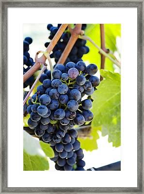 Vineyard Grapes Framed Print by Charmian Vistaunet