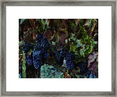 Framed Print featuring the photograph Vineyard Grapes On Vine Number Three by Bob Coates