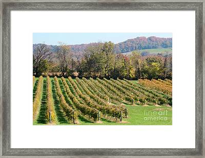 Vineyard In Autumn Framed Print by Adam Long