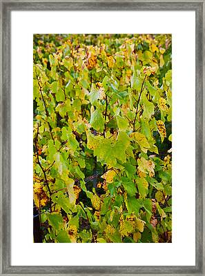 Vineyard In Autumn, Chigny-les-roses Framed Print by Panoramic Images
