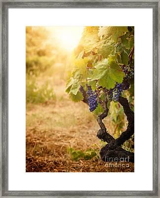 Vineyard In Autumn Harvest Framed Print by Mythja  Photography
