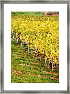 Vineyard, Ozenay, Maconnais Framed Print by Panoramic Images