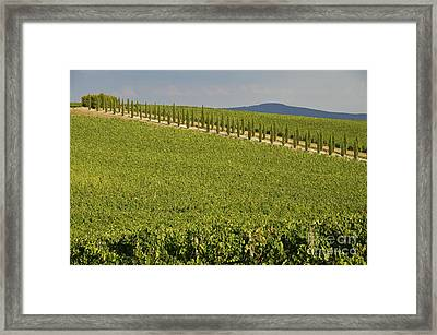 Vineyards And Cypresses Tree Alley In Chianti Framed Print by Sami Sarkis