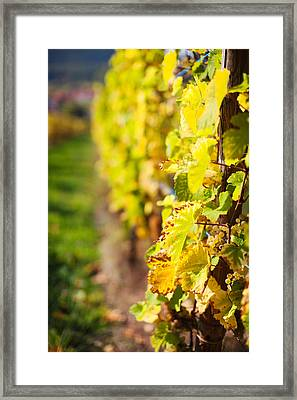 Vineyards In Autumn, Mittelbergheim Framed Print