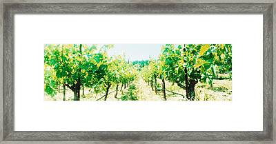 Vineyards In Spring, Napa Valley Framed Print