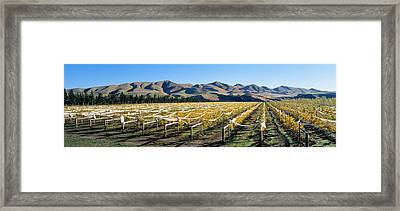 Vineyards N Canterbury New Zealand Framed Print