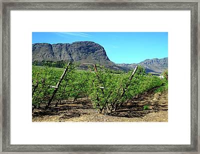 Vineyards Of Franschoek, Cape Wine Framed Print by Miva Stock