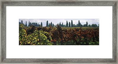 Vineyards With Trees In The Background Framed Print