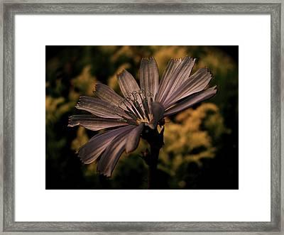 Vintage Chicory Framed Print by Tim Good