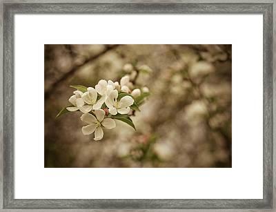 Vintage Crabapple Blossom Framed Print