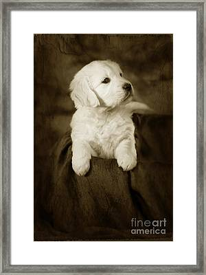 Vintage Golden Retriever Pup Framed Print by Angel  Tarantella