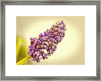 Vintage Muscari Framed Print by Caitlyn  Grasso