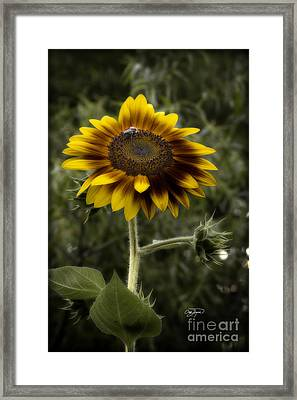 Vintage Rustic Sunflower Framed Print