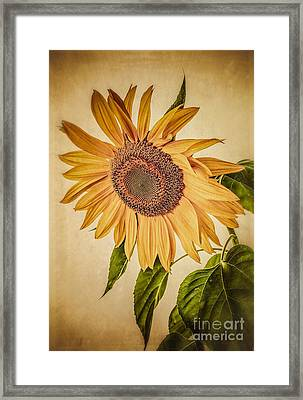Vintage Sunflower Framed Print by Edward Fielding