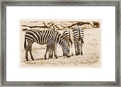 Vintage Zebras Framed Print by Dan Sproul